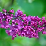 4K Wallpapers with high resolution images of Purple Lilac-Flowers