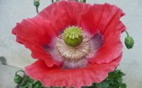 Beautiful flower picture of The Poppy in High Resolution