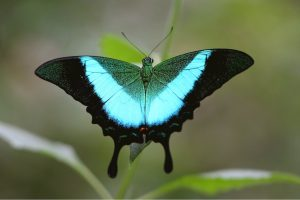 Picture of Banded Peacock butterfly photos free download