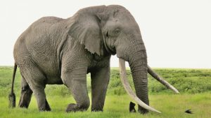 Picture of 20 high resolution elephant pictures - No 2 - Big Male Elephant with Big Tusks