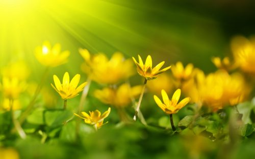 Image file for high definition nature wallpaper with yellow blossoms in summer