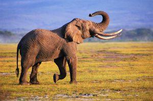 20 High Resolution Elephant Pictures No 4 - Big Elephant