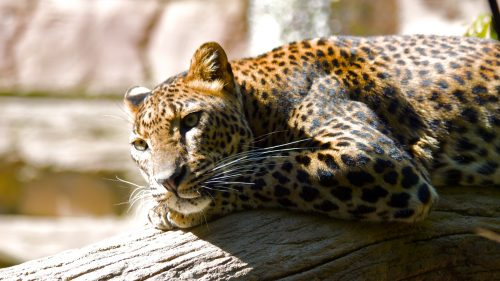 Animal Wallpaper with Picture of Leopard in HD with 1920x1080