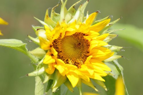 Beautiful Nature Picture with Sunflower in Close Up
