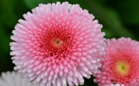 Flower Wallpaper for Desktop with Macro Photo of Pink Flowers