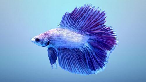 Halfmoon Betta Wallpaper 2 of 7 - Blue Double Tail Halfmoon