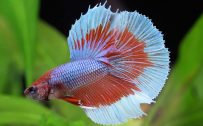 Halfmoon Betta Wallpaper 3 of 7 - Two Colors Halfmoon