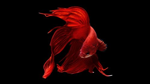 Perfect Red Halfmoon Betta Wallpaper 6 of 7