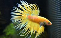 Halfmoon Betta Wallpaper 7 of 7 - Yellow Halfmoon