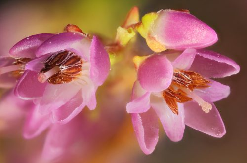Macro Photography Wallpaper with Calluna Vulgaris Flower in Purple
