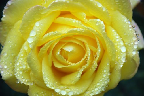 Nature Wallpaper for Computer Desktop with Yellow Wet Rose