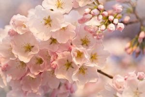Attachment file for Flower Wallpaper with Macro Photo of Cherry Flowers in Spring