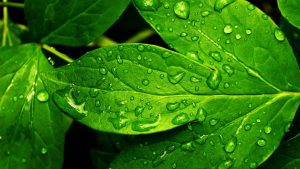 HD picture nature with green wet leaf