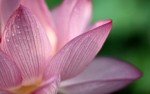 high quality pictures of flowers -wet lotus flower