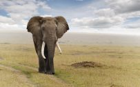 20 High Resolution Elephant Pictures No 5 – Big African Elephant