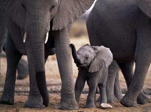 20 High Resolution Elephant Pictures No 7 - Newborn Elephant in close up