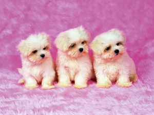 Attachment of 37 Cute Stuff Wallpapers - Puppies in Pink