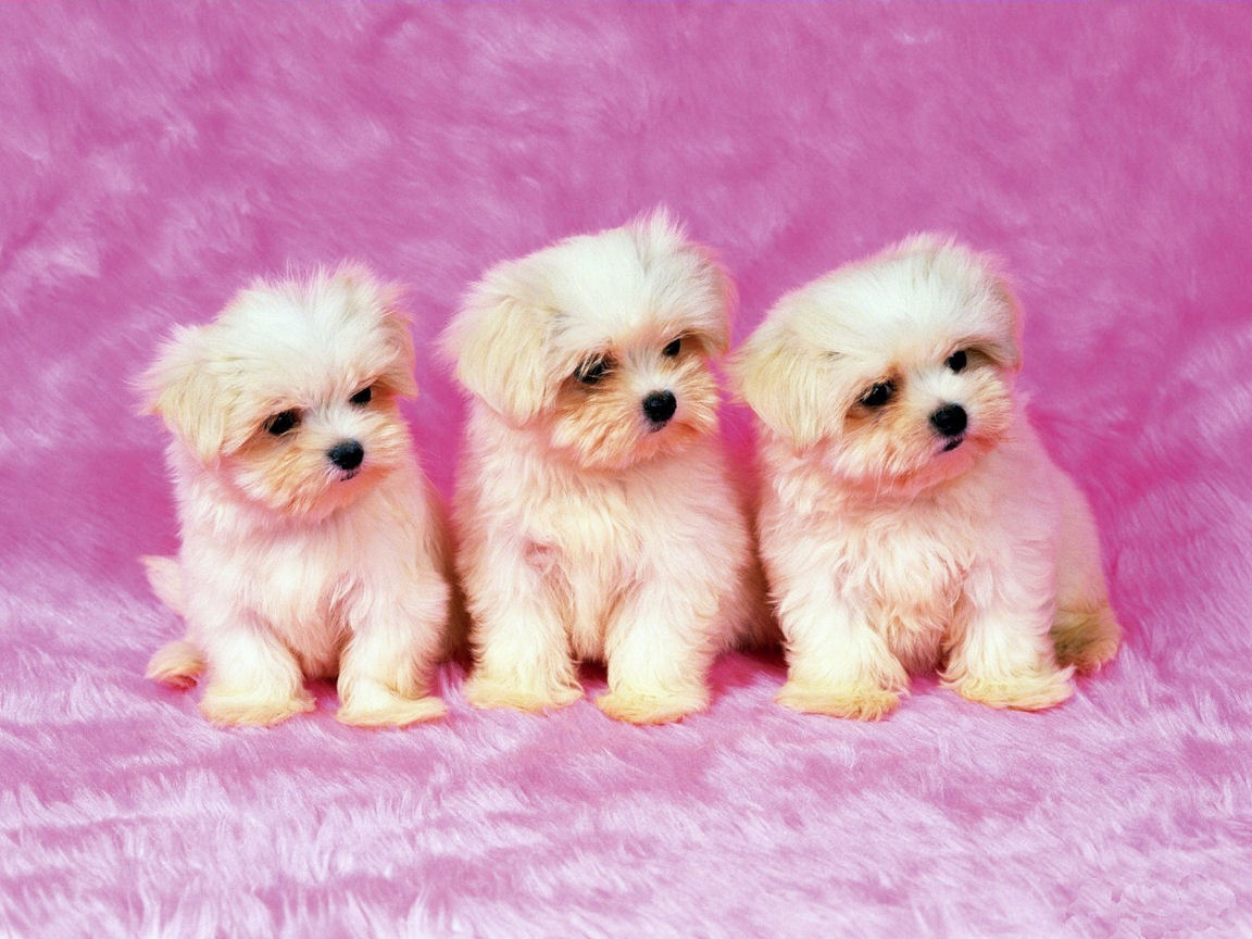 cute stuff pink puppies wallpapers hd