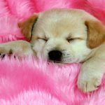 Attachment for 37 Cute Stuff Wallpapers - Sleepy Puppy