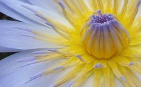 Attachment for Apple iPhone 6 Wallpaper with Natural Lotus Flower close up