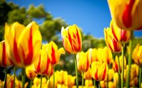 Attachment for Spring Yellow Tulips for Nature Wallpaper in HD