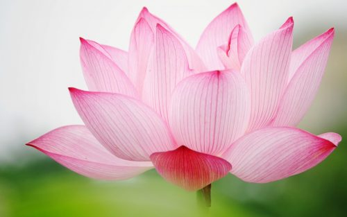 Attachment picture for High Definition Desktop Wallpapers with Pink Lotus Flower