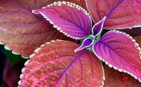 Attachment for nature wallpaper hd with macro photo of purple leaves