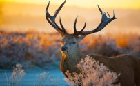Attachment file to download for pictures of animals in the wild - male deer with big antlers