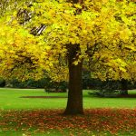 Autumn HD Wallpaper with yellow leaves tree