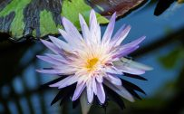 Close Up Lotus Flower on Pond