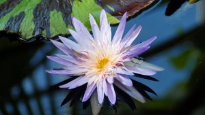 Close Up Lotus Flower on Pond