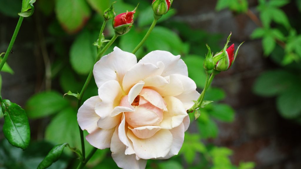 Close Up White Rose Picture for 4K Wallpaper - HD ...