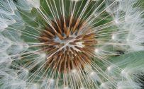 Free Download of Dandelion Seed Macro Photo for HD Wallpaper