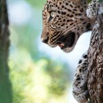 Full HD Mobile Wallpaper with Leopard Picture