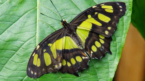 Free Download of HD Wallpaper with Lime Green Malachite Butterfly