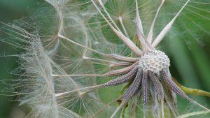 Macro photo dandelion flower of HD nature wallpapers