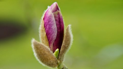 Magnolia Starts to Bud and Bloom for HD Wallpaper