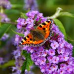 Picture of Tortoiseshell Butterfly Rests on Purple Florets