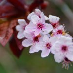 Free Download of Cherry Blossom HD wallpaper