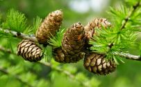 Pine cone on tree in close up for HD wallpaper