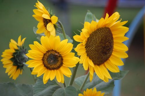 File to download for Beautiful Flower Wallpaper with Sunflowers in Garden