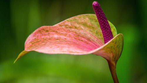 Beautiful Photo of Obake Anthurium in Close Up