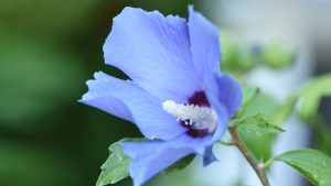 Blue Shoeblackplant Flower Picture in Close Up