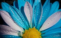 Blue and White Chrysanthemum Flower in Close Up