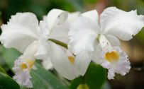 High resolution picture of Cattleya orchid flower for desktop background