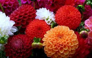 Colorful Dahlia Flower for Desktop Background