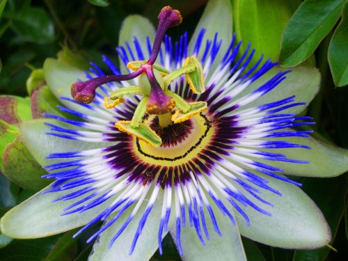 High Resolution Picture of Passion Flower
