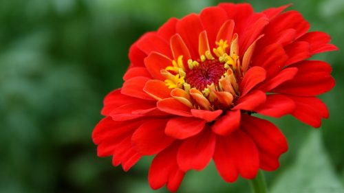 High Resolution Picture of Red Zinnia Flower for Desktop Background