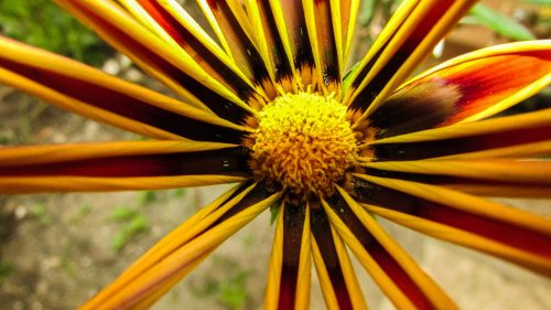 High Resolution and Close Up Picture of Gazania Flower