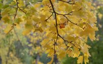 High resolution autumn wallpaper with maple leaves in fall season